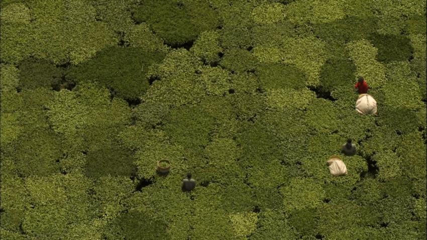 чайные плантации в Кении