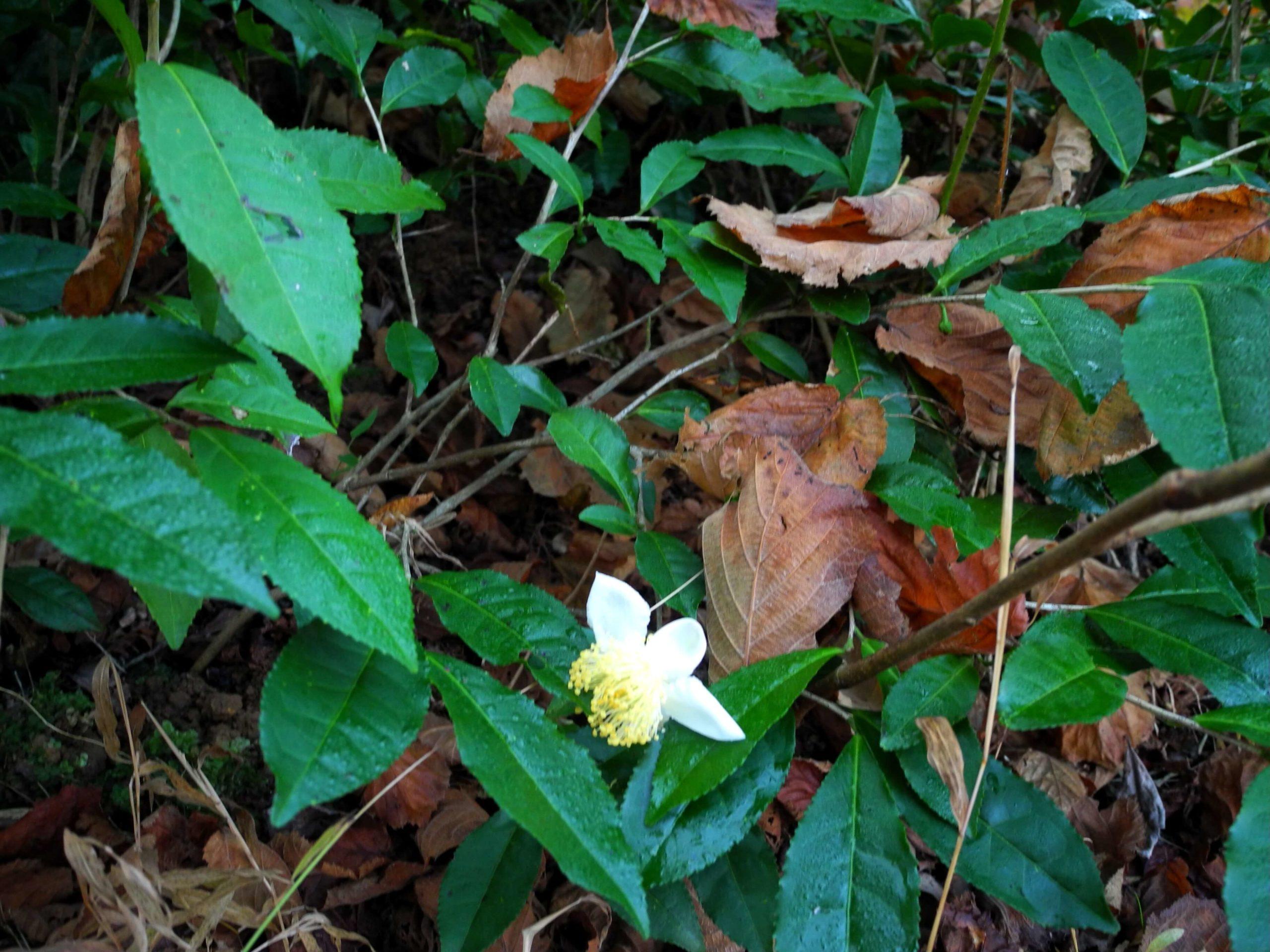 чайный цветок