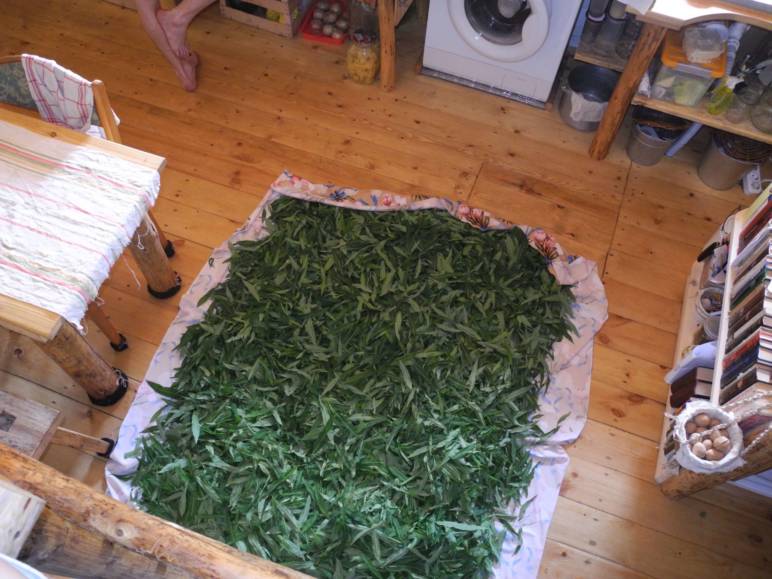 Иван-чай фото растения подвяливание
