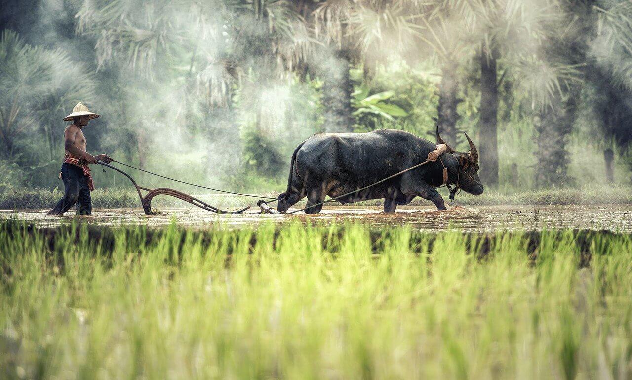 Полутоварное и товарное традиционное сельское хозяйство